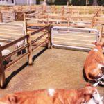 Real Farm_Screenshot_Market Cows