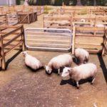 Real Farm_Screenshot_Market Sheep
